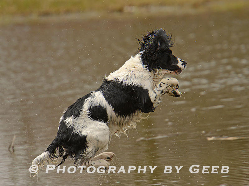 Rico getting air as the pickup dog.