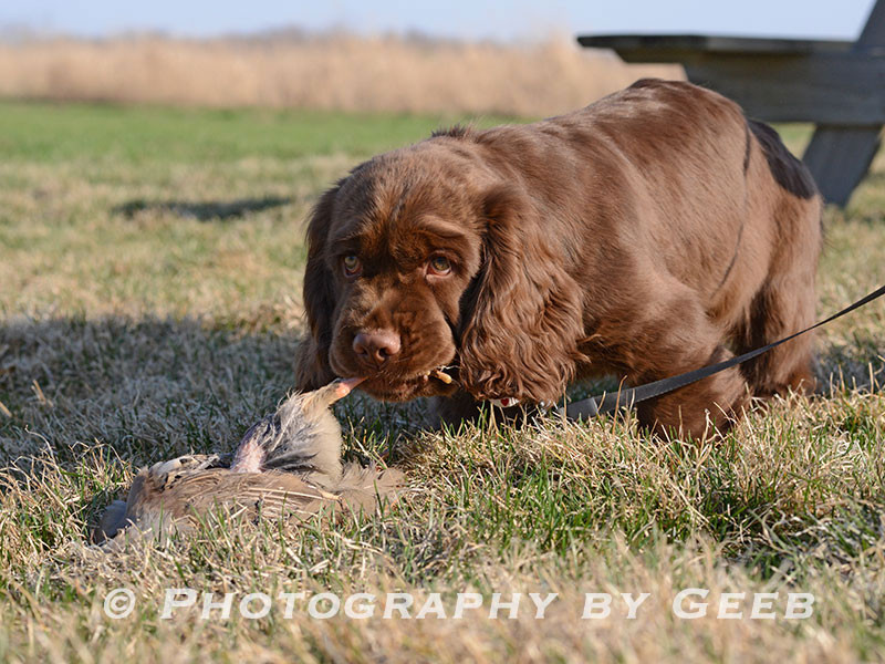 A Sussex spaniel at the Birdiness Test.